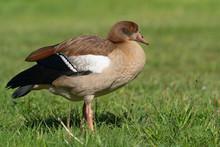 Nile Goose, Alopochen Aegyptiaca