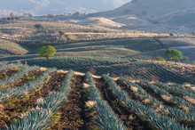 Agave Fields In Tequila, Jalis...