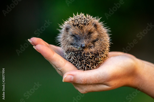 Love nature, little hedgehog staying in a hand Tableau sur Toile