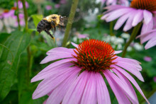 Pink Coneflower Floral Garden With A Close Up Of A Yellow Black Bumblebee In Flight Going From Flower To Flower For Pollen