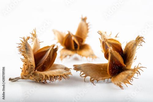 Obraz Beech tree fruit on a light table. Seeds of the deciduous tree. - fototapety do salonu