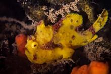 Yellow Warty Frogfish (Clown Frogfish) - Antennarius Maculatus