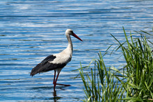 A Beautiful White Stork With Black Wings And A Long Neck And A Long Red Beak Stands On The Green Bank Of The River. The Migratory Bird Migrates To Europe And Africa. A Large White Bird With Long Legs.
