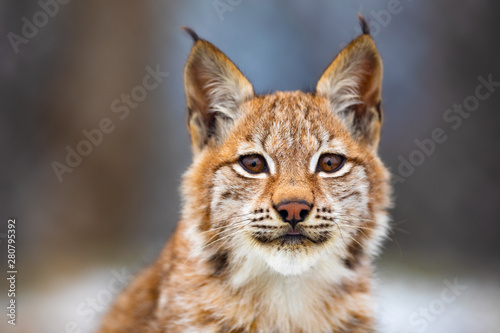Close-up portrait of beautiful eurasian lynx in the forest