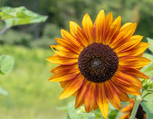 Yellow And Red Sunflower With Blurred Green Background