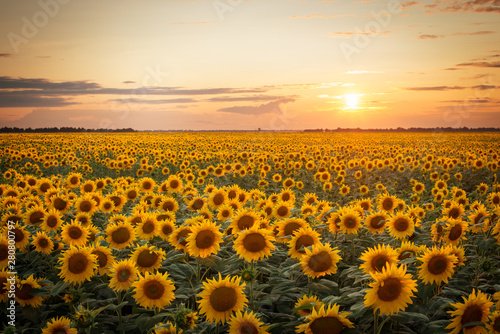 Poster de jardin Tournesol Beautiful sunset over big golden sunflower field in the countryside
