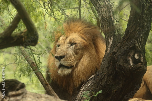male lion in zoo Canvas Print