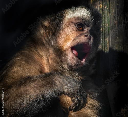 Fotografija  A capuchin monkey showing its tongue