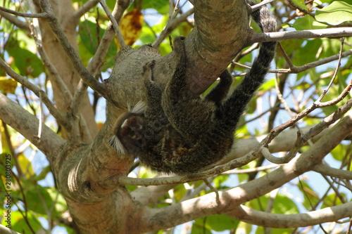 Canvas Prints Koala Marmoset