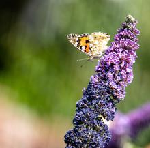 Schmetterling Trinkt Auf Sommerflieder