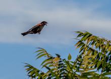 Red Wing Black Bird Flying