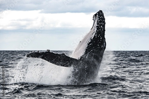 Vászonkép  Humpback Whales breaching at the surface of Tonga in a Heat Run