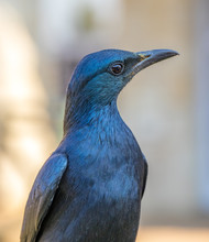 Portrait Of A Red-winged Starl...
