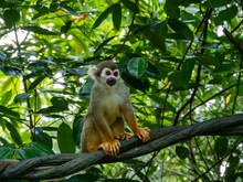 Common Squirrel Monkey In Rainforest Habitat