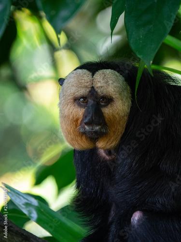 Photo White Faced Saki Monkey, Guianan saki