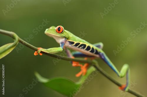 Foto op Plexiglas Kikker Red-Eyed Leaf Frog walking on plant stem