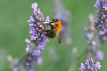 Close Up Of A Bumble Bee On Purple Flowering Lavendar
