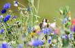 Leinwandbild Motiv Stieglitz in Schmetterlingswiese