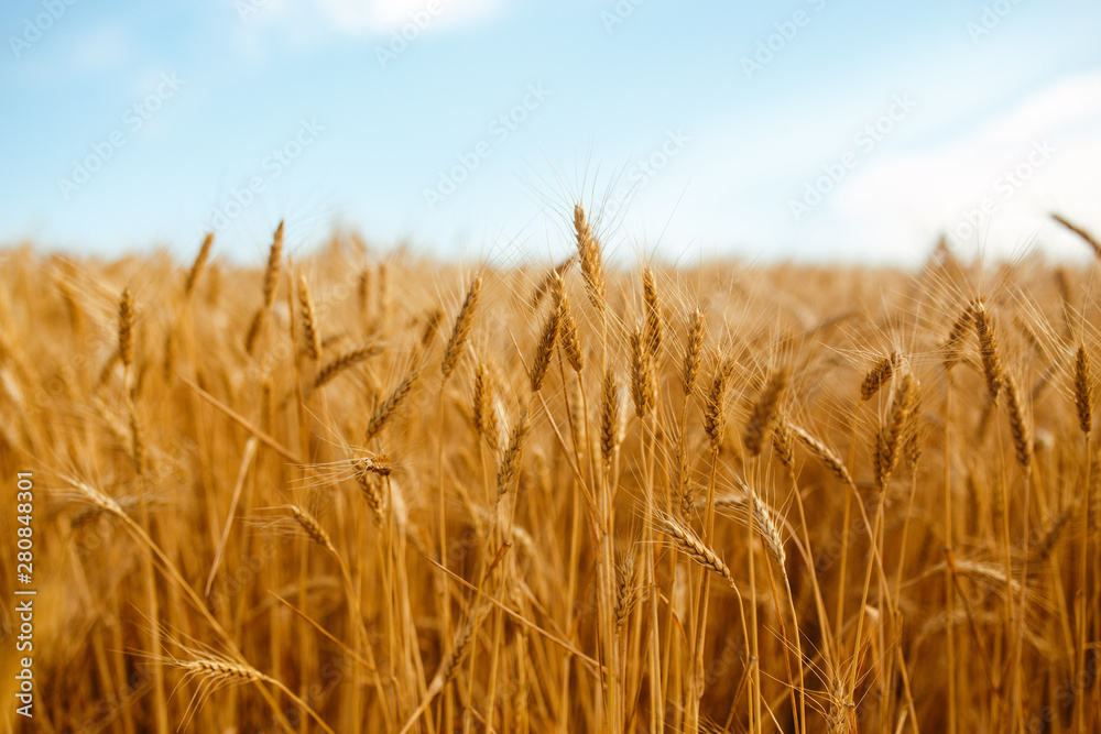 Fototapety, obrazy: backdrop of ripening ears of yellow wheat field on the sunset cloudy orange sky background. Copy space of the setting sun rays on horizon in rural meadow Close up nature photo Idea of a rich harvest.