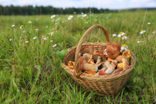 Basket Of Mushrooms On The Grass In A Summer Field Near The Forest