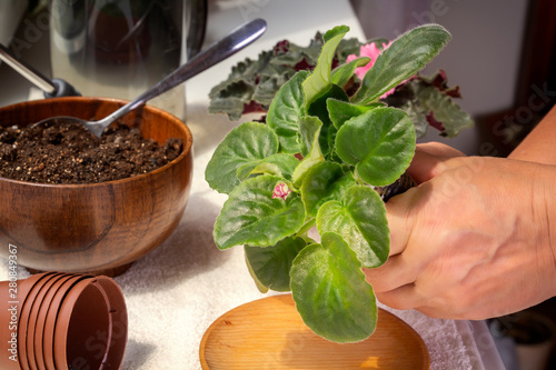 Adobe Stock & Female hands are planted babies violets (Saintpaulias) in a flower ...