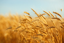 Agriculture, Barley, Agricultural, Autumn, Background, Beautiful, Beauty, Bread, Business, Cereal, Closeup, Concept, Corn, Countryside, Cultivate, Ear, Ears, Empty, Environment, Fall, Farm, Farmland,