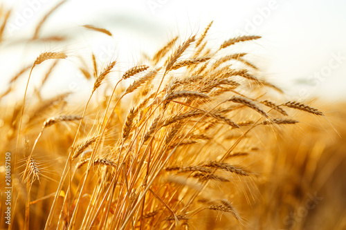 Fotomural agriculture, barley, agricultural, autumn, background, beautiful, beauty, bread,