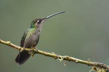 Rivoli's Hummingbird Sitting O...