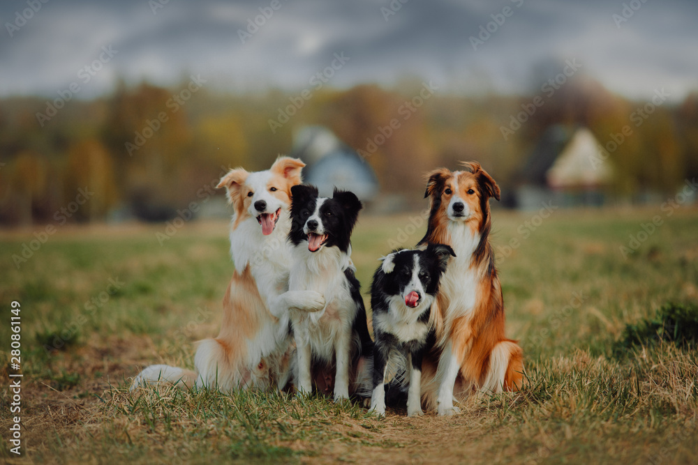 Fototapety, obrazy: group of happy dogs border collies on the grass in summer