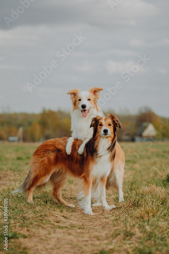 Foto group of happy dogs border collies on the grass in summer
