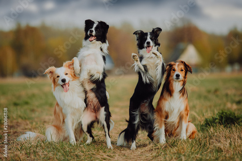 group of happy dogs border collies on the grass in summer Fotobehang