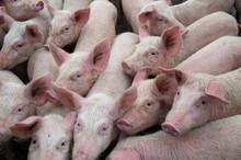 Pigs Diseases. African Swine F...