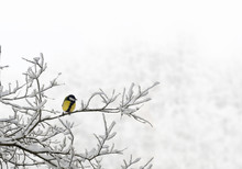 Great Tit ( Parus Major ) On Sprig Of Tree Covered Snow In Winter Forest