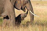 Fototapeta Sawanna - Elephant & Baby