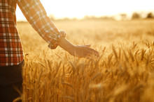 Amazing View With Man With His Back To The Viewer In A Field Of Wheat Touched By The Hand Of Spikes In The Sunset Light. Farmer Walking Through Field Checking Wheat Crop.Wheat Sprouts In Farmer's Hand