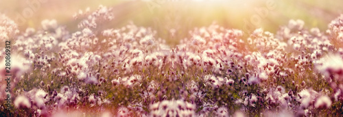 Fotografia Dry seed of thistle - burdock in meadow lit by sunlight in late afternoon