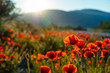 field of red poppy filed on sunset time