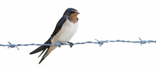 Young Of Barn Swallow (Hirundo Rustica), Isolated On A White Background, Perched On The Barbed Wire