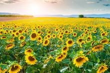 Sunflower Field Landscape At Sunset Near Valensole, Provence, France.