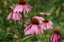 Monarch On A Marguerite Daisy.