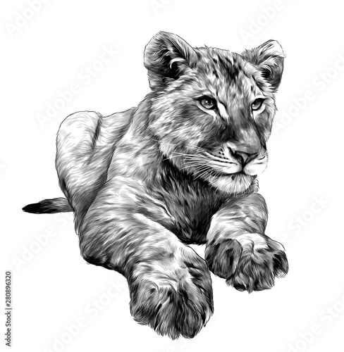 Photo sur Toile Croquis dessinés à la main des animaux little lion cub lies full length drawing, sketch vector graphics monochrome illustration on white background
