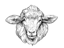 Sketch Of Sheep. Hand Drawn Il...