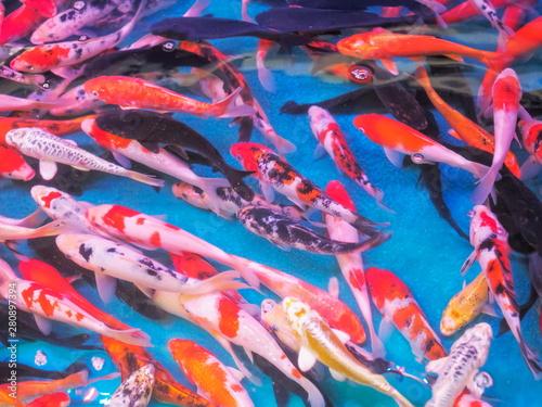 Foto op Aluminium Paradijsvogel bloem Top view of many red and orange Koi fish diving in fresh water blue fish tank.