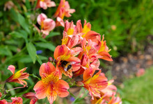 Bright Orange Flowers Of Alstroemeria, Commonly Called The Peruvian Lily Or Lily Of The Incas.