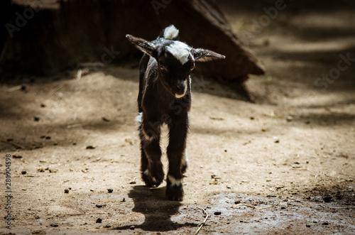 Small black goat, a dwarf goat.