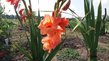 Photography Flowers Gladiolus
