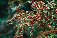Cotoneaster Bush With Small Re...