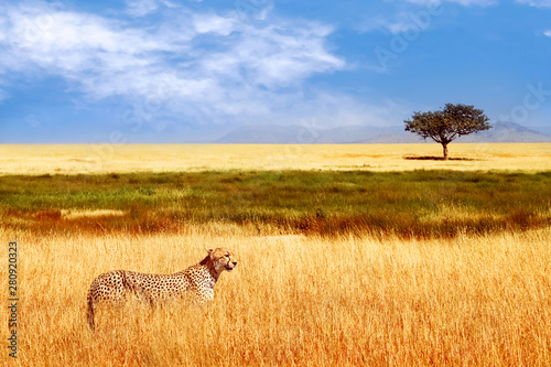 Fotomural Cheetah in the African savannah