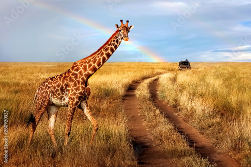 A lonely beautiful giraffe in the hot African savanna against the blue sky with a rainbow. Serengeti National Park. Tanzania. Wildlife of Africa.