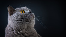 Beautiful British Shorthair Cat Looks Up, Close-up, Copy Space.